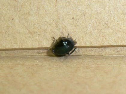この虫はなんですか?ゴキの子供ではないですよね , その他
