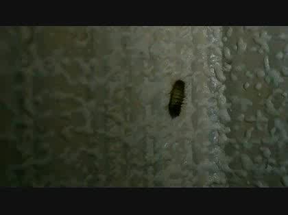 みたい 虫 ダンゴムシ な